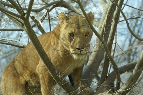 ライオン木の上.jpg